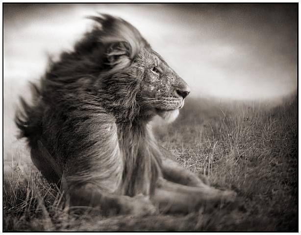 TITLE:  Lion before storm II, sitting profile  Maasai Mara  ARTIST:  Nick Brandt