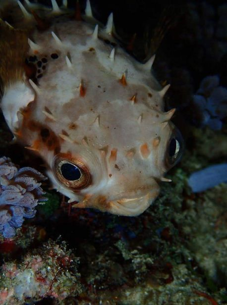 Porcupine Puffer Fish By Scandi Divers Pufferfish Unusual Animals Life Under The Sea Puffer Fish