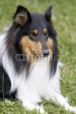 Langhaar Collie bei einer Hundeausstellung Collie hund