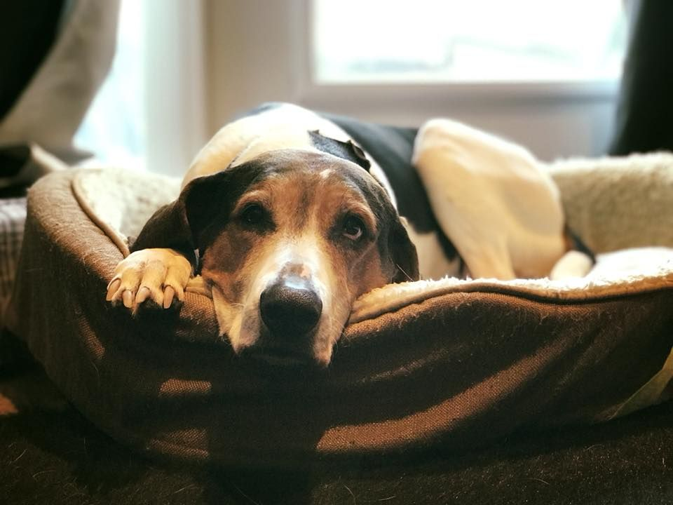 Treeing walker coonhound dog for adoption in ontario on