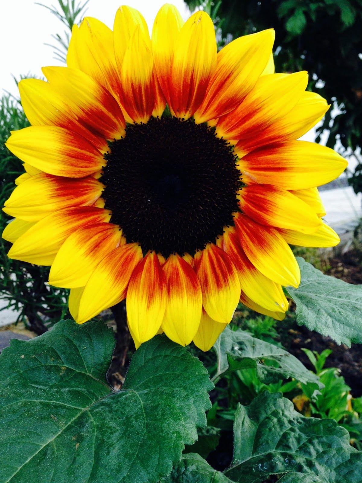 Lieschens-Bilder: Blume Sonnenblume klein