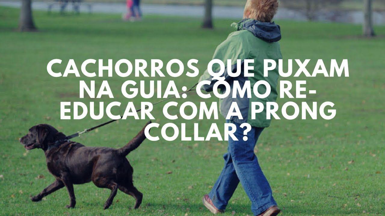 f112a52e572 Cães que puxam na guia  como re-educar com o uso da prong collar ...
