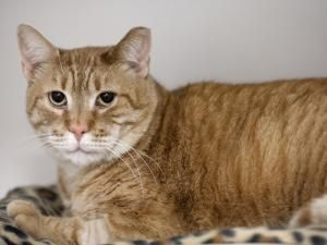 ROMEO is an adoptable Domestic Short Hair Cat in Boston, MA. MEET ROMEO & JULIET! Romeo & Juliet are a sweet & affectionate bonded pair of fancy felines. Romeo is a 7 year-old neutered male orange cat...