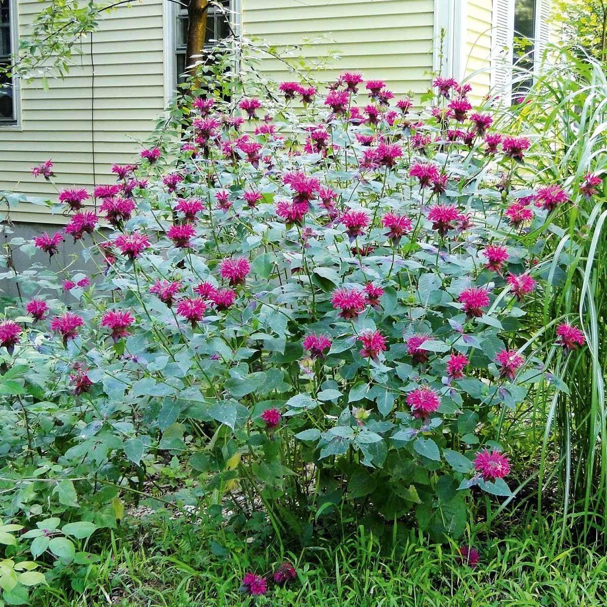Niedrige Indianernessel Purple Lace 3 Pflanzen Jetzt Bestellen Bei Indianernessel Pflanzen Pflanzen Online Kaufen
