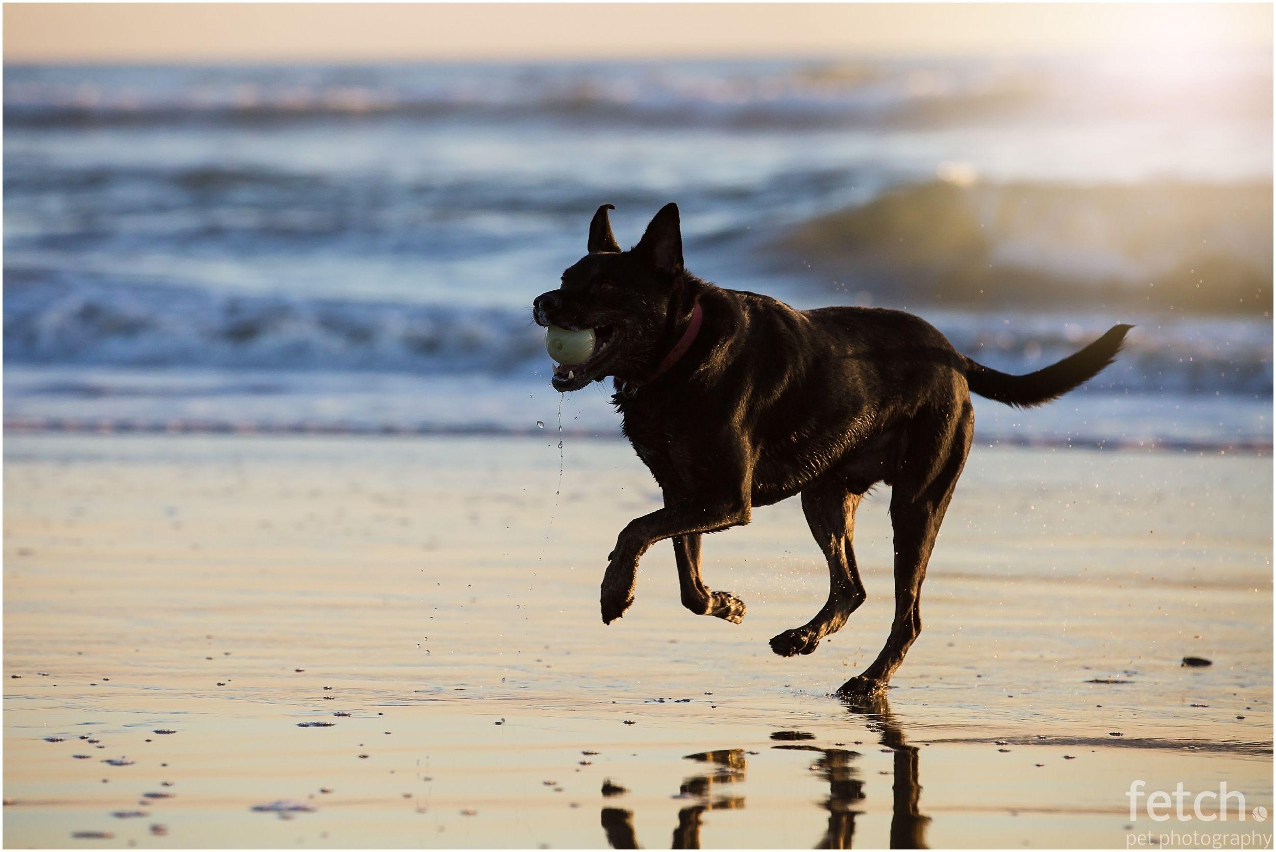 Los Angeles Dog Photographer Dog Photograph Australian Kelpie