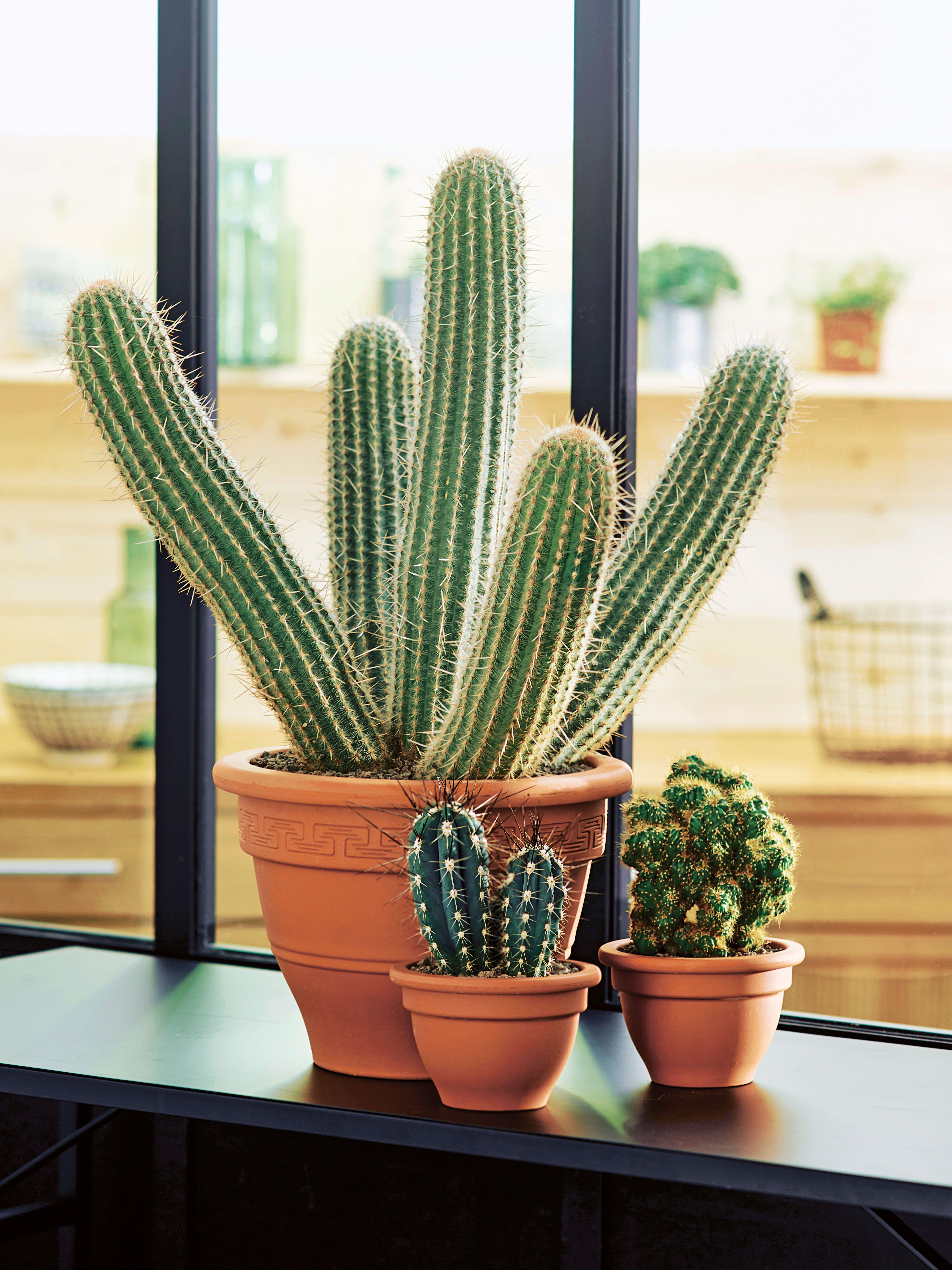 Parce Que Le Cactus A La Cote Cactus Plants Succulents Plants