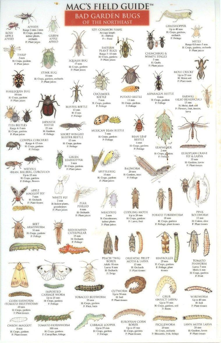 Bad Garden Bugs of the Northeast   Gardening Tips   Garden