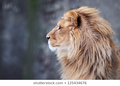 Lion Profile Google Search Side Profile Lion Profile Lion