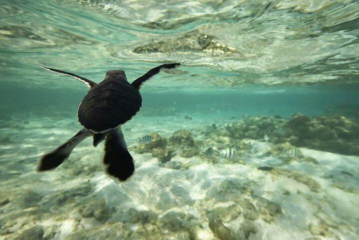 Australian turtle
