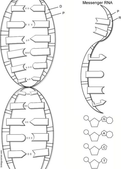 dna the double helix coloring worksheet key 1 | Biología ...