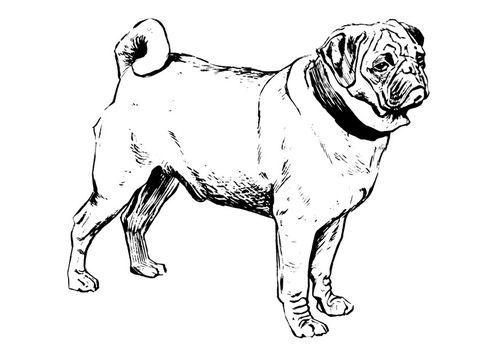 Coloring page dog - pug   Printables 1   Pinterest
