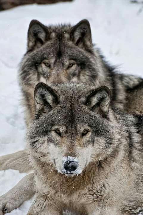 La mirada de los lobos