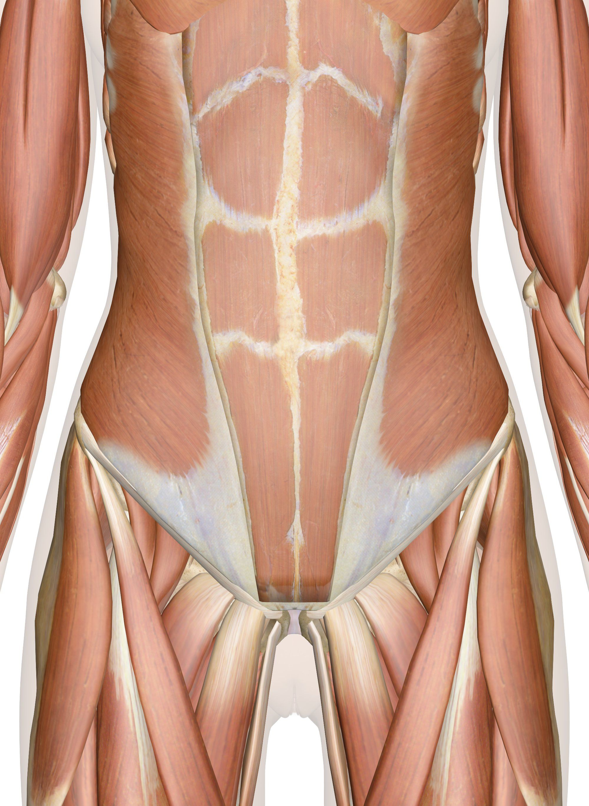 Muscles Of The Abdomen Lower Back And Pelvis Health And Fitness