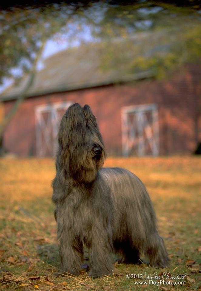 Pin Von Peter The Fox Auf Briard Hunde Tiere