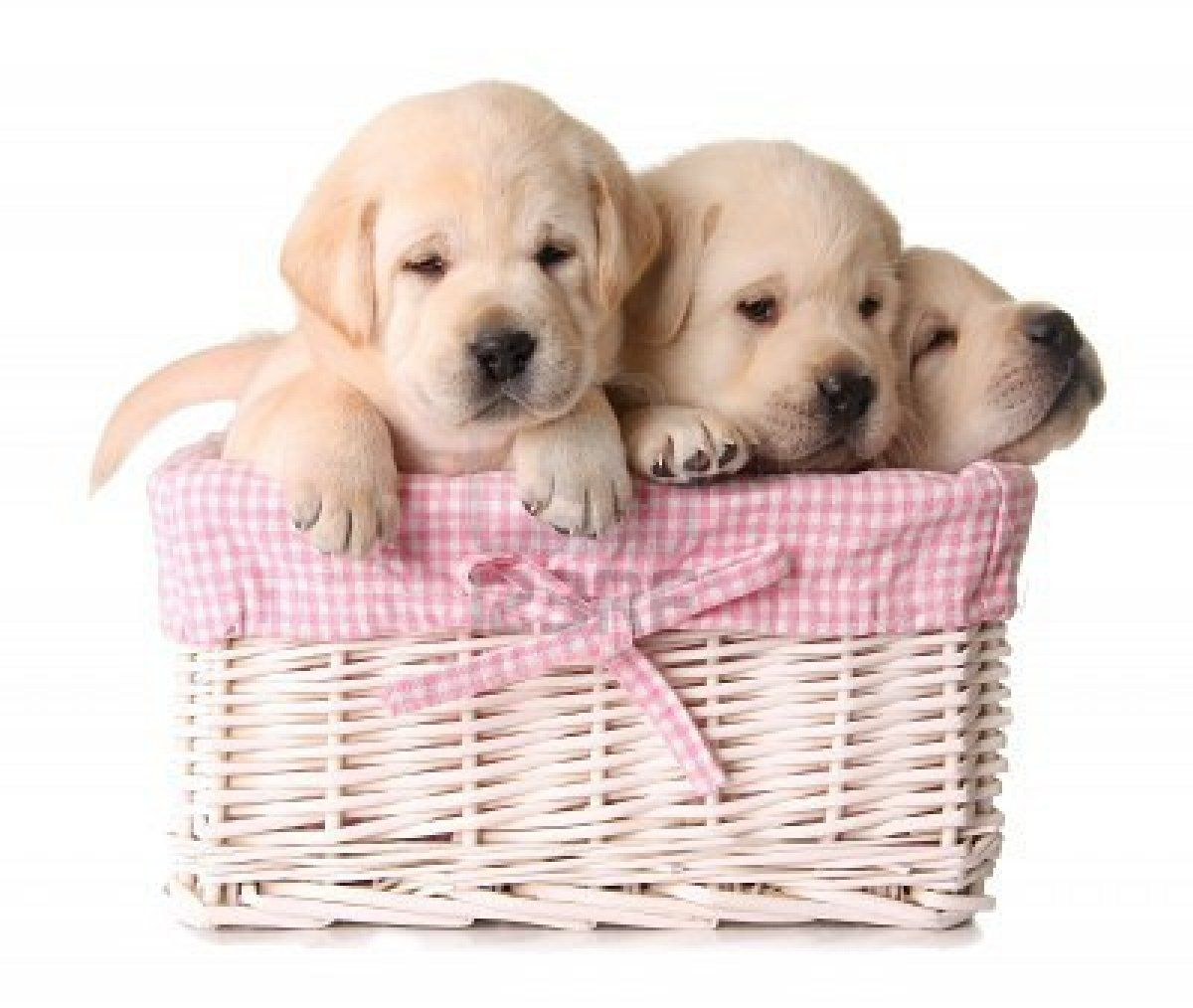 Stock Photo Lab Puppies Yellow Lab Puppies Puppies