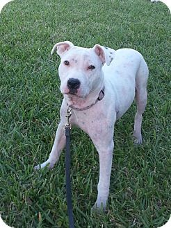 Hollywood Fl American Bulldog Dalmatian Mix Meet Olivia A Dog