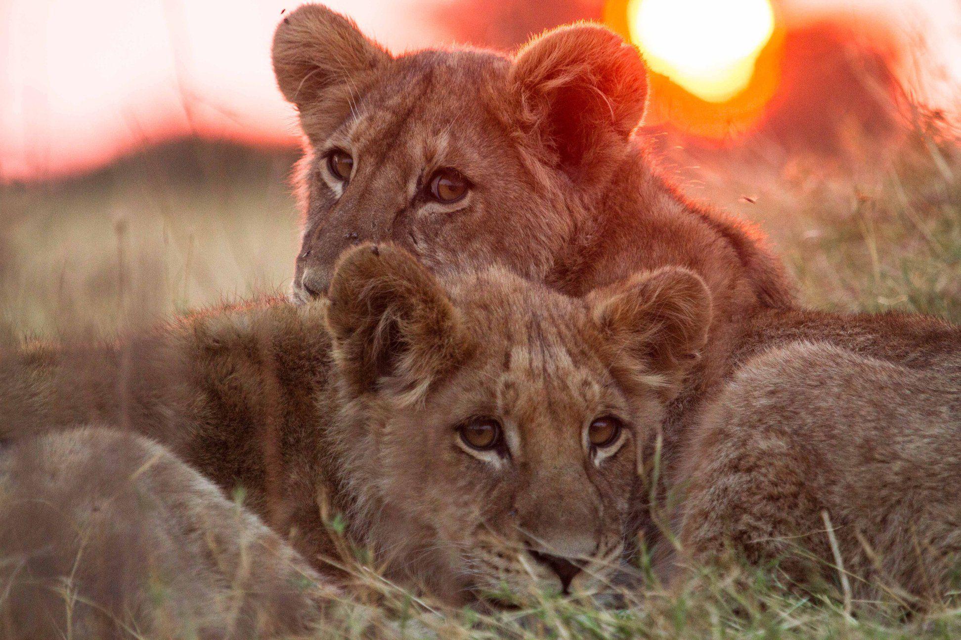 Épinglé par Yara Peace sur Lions Animaux sauvages