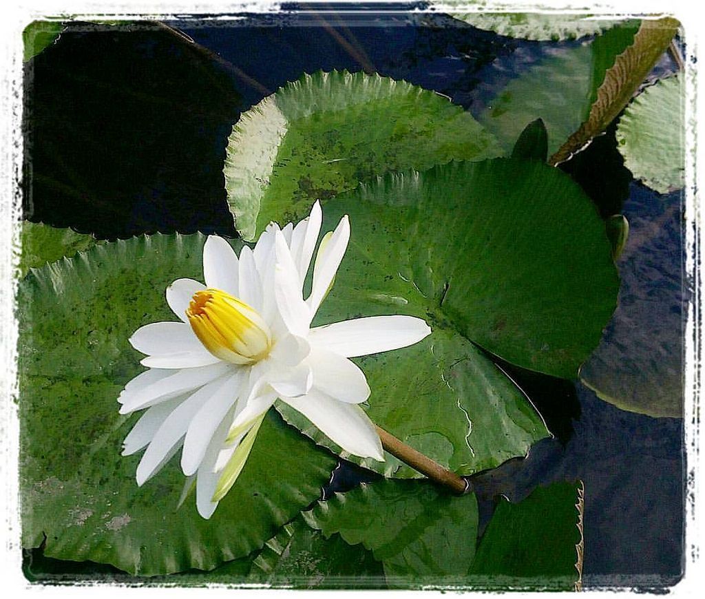 """@fakeiam_1 ~ a snow white Waterlily💮 '""""""""*_🌌💨..... dust in the wind ~"""""""