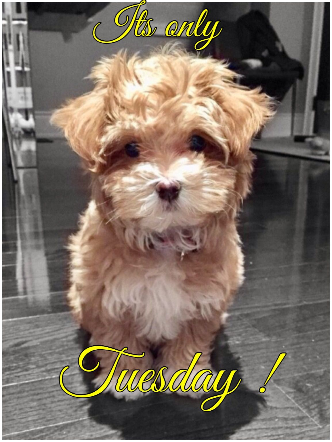 Pin by Lynzee on cute Havapoo puppies, Cockapoo puppies