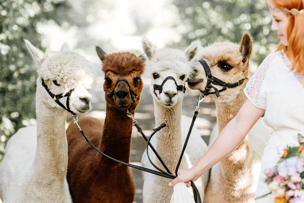 It S Official Every Wedding Needs A Baby Alpaca Like This One