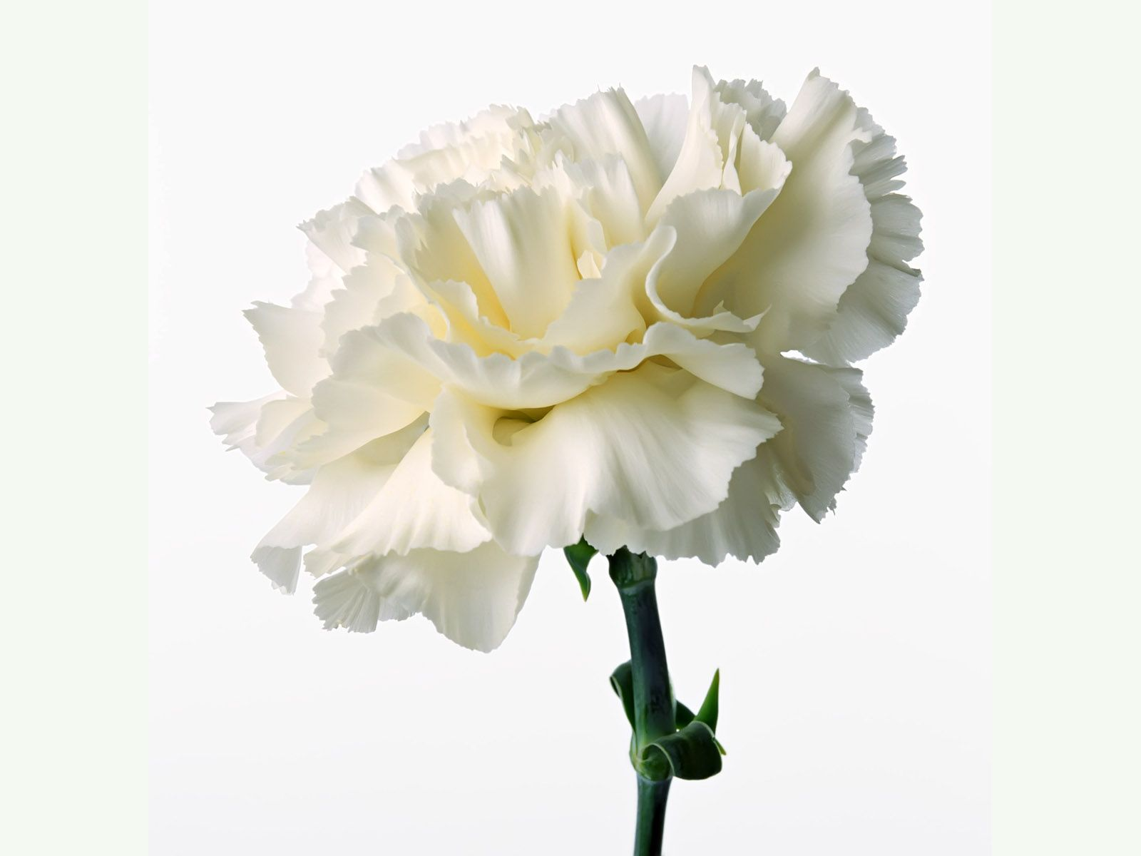 Carnation White and Cream Flowers Carnations Flowers Carnation