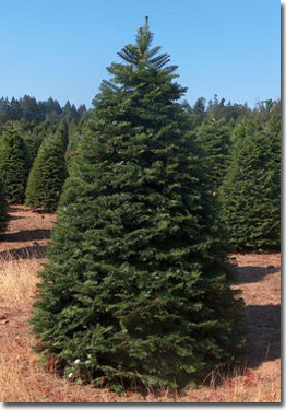 Premium Quality Grand Fir Christmas Trees I Love Grand Fir Trees This Is The Tree I Got For My First Chris Grand Fir Fir Christmas Tree Christmas Tree Smell