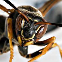 Pin by Nonivn on aes: phobias | Phobias, Wasp, Animal control