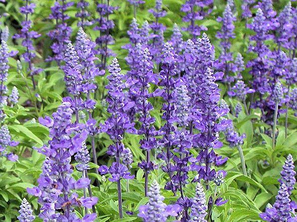 Mealy Cup Sage Salvia Farinacea Also Called Victoria Sage