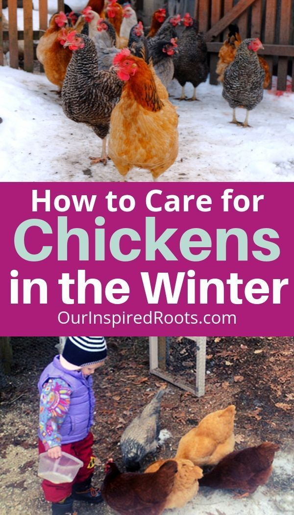 10 Tips for Keeping Chickens in Winter (You Can't Ignore ...