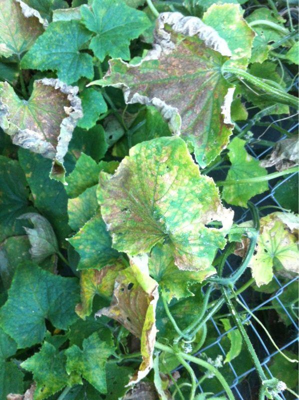 Free Plant Identification Organic fungicide, Cucumber