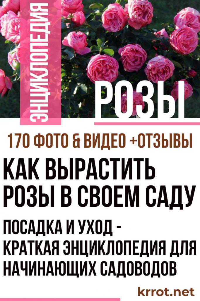 Как Вырастить Розы в Своем Саду - Краткая Энциклопедия ...