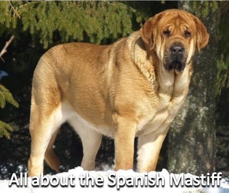 All About The Spanish Mastiff Spanish Mastiff Mastiffs Dog Breeds