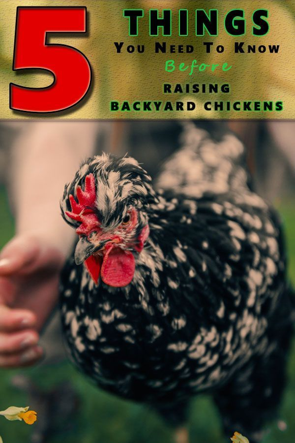 5 Tips For Raising Backyard Chickens | Raising backyard ...