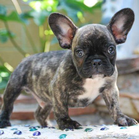 Ako By Bullcanes English Bulldog And French Bulldog Puppies For
