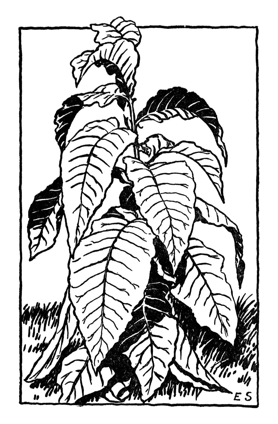 13353 Vintage Illustration Of A Tobacco Plant Pv Png 958 1459 Vintage Illustration Leaves Illustration Tobacco Leaf