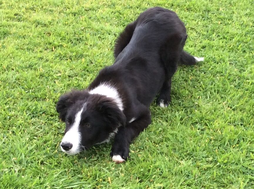 Border Collie Age 4 Months Alert And Ready For Action Border