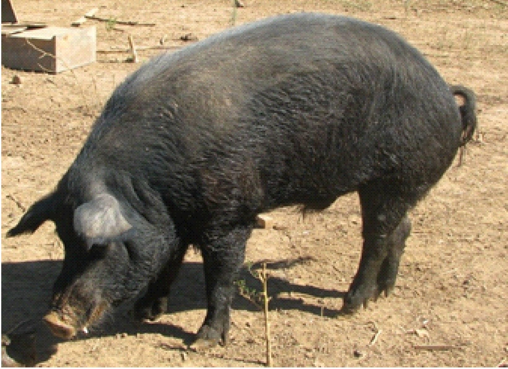 Mulefoot Pig Breeds Cattle Farming Flying Pig