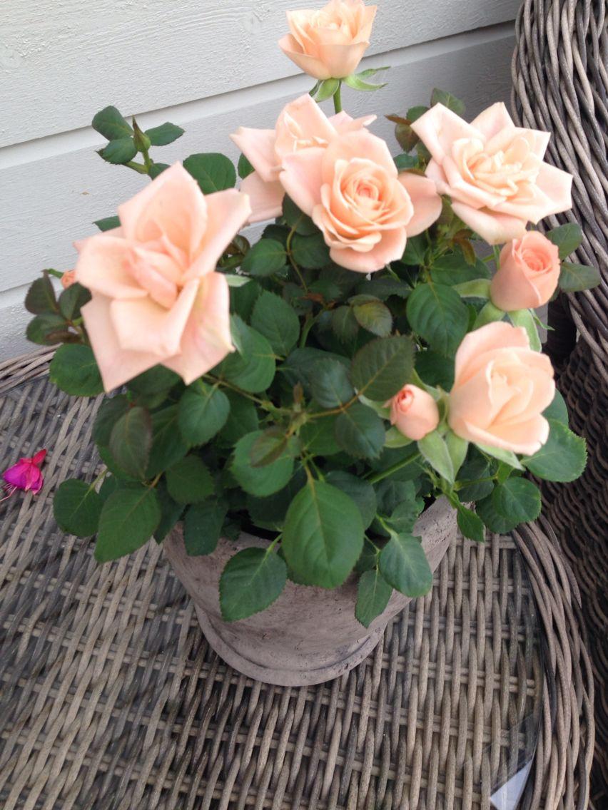 Nydelige roser