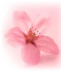 flores de sakura - Google 検索