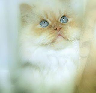 Persian Cat Pretty Cats Beautiful Cats Crazy Cats