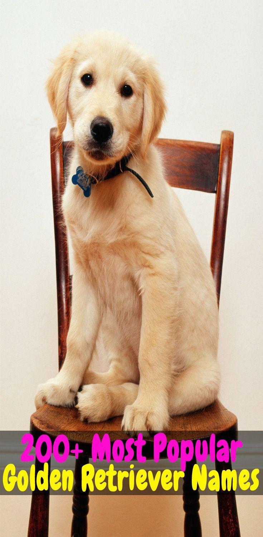 Top 200 Best Dog Names For Your Golden Retriever Golden