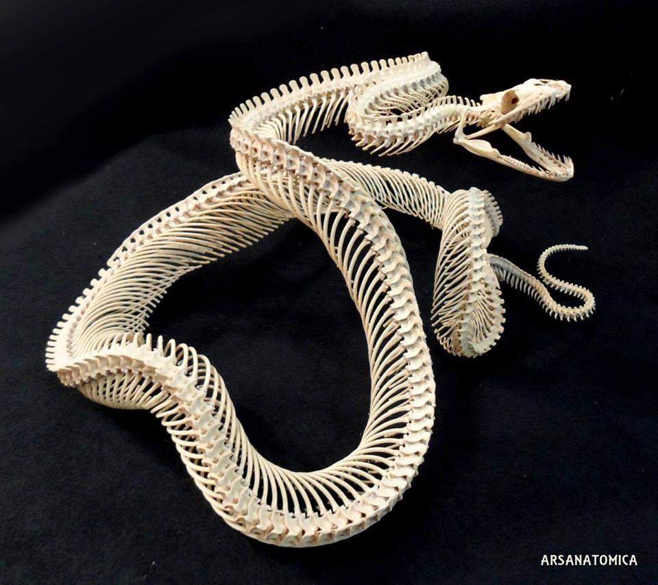 Rattlesnake Skeleton