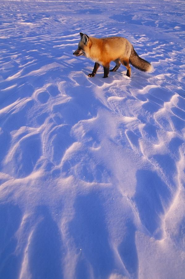 An Arctic Fox Alopex Lagopus Canvas Print / Canvas Art by