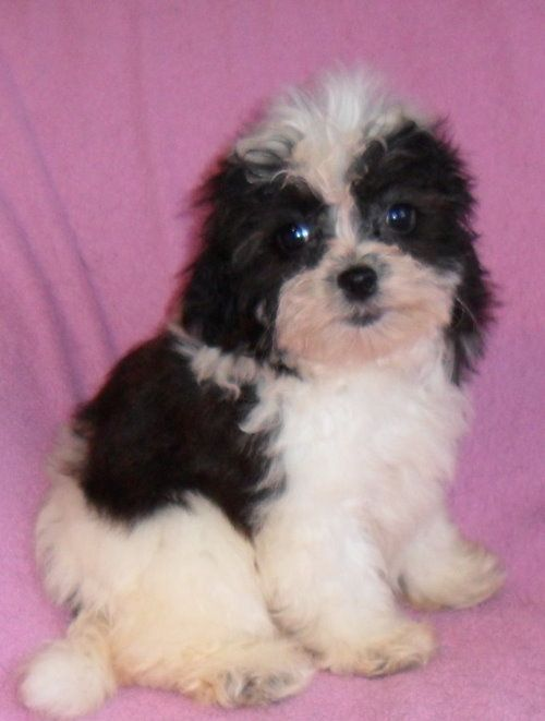 Puppies for sale - Shih-poos, Shihpoos ** Lhasapoos ...