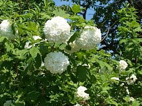 schneeball viburnum opulus 39 roseum 39 garten pinterest blumen pflanzen terrasse und blumen. Black Bedroom Furniture Sets. Home Design Ideas