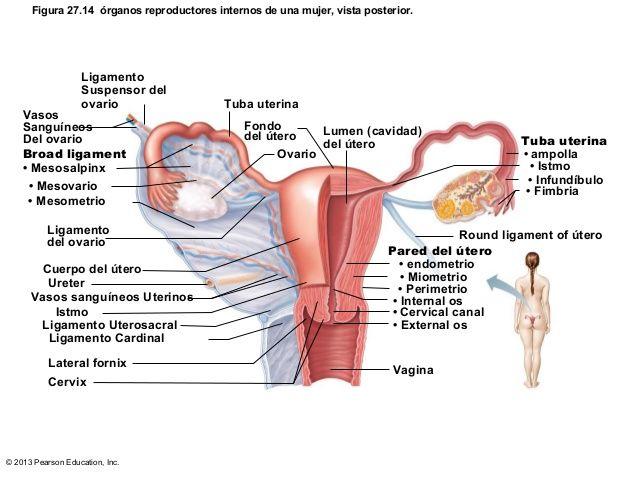 resultado de imagen para mesosalpinx y mesovario anatomy