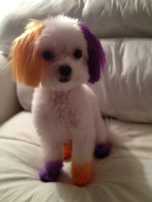 color dyed dogs | My baby after his first hair dye at Rock ...