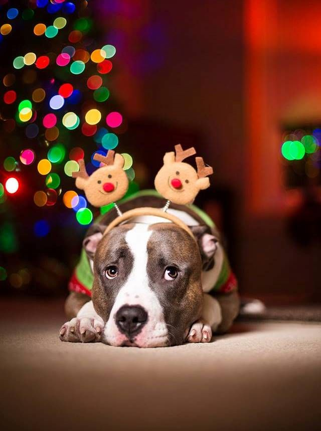 American Pit Bull Terrier Christmas Day Merry Christmas Card Puppy Holiday Dogs Santa Claus Dog Puppies Xmas Pitbull
