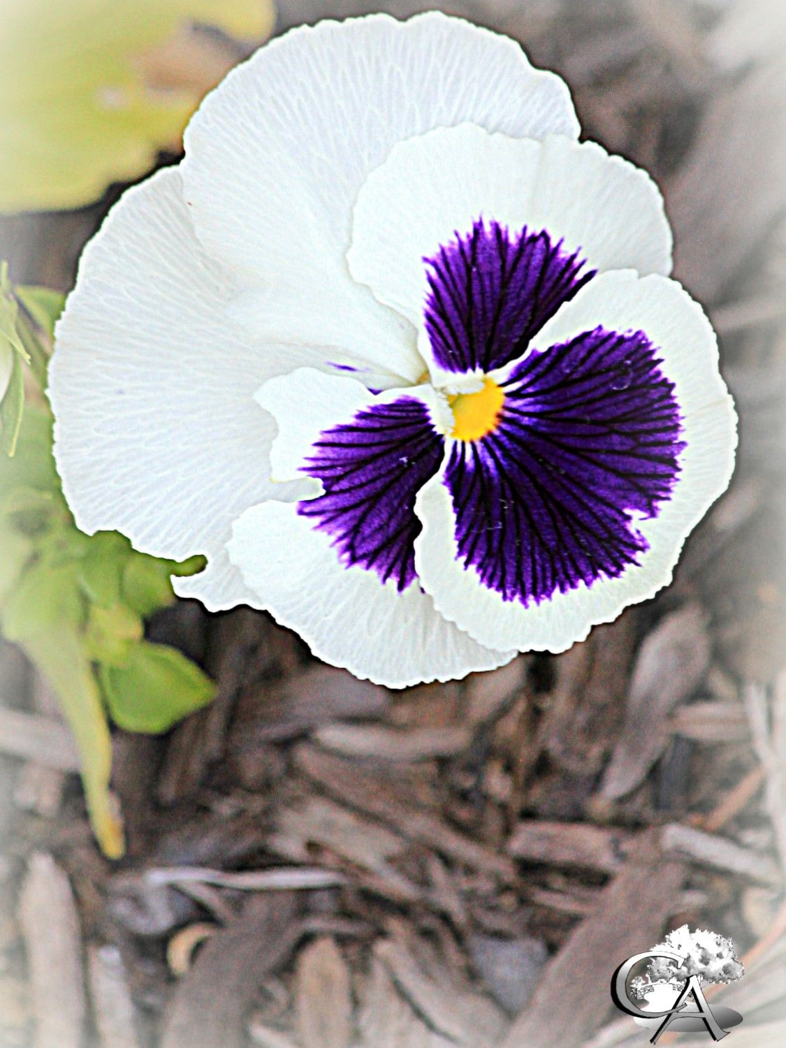 pansy, purple and flower, CA annual, spring annual, summer annual ...