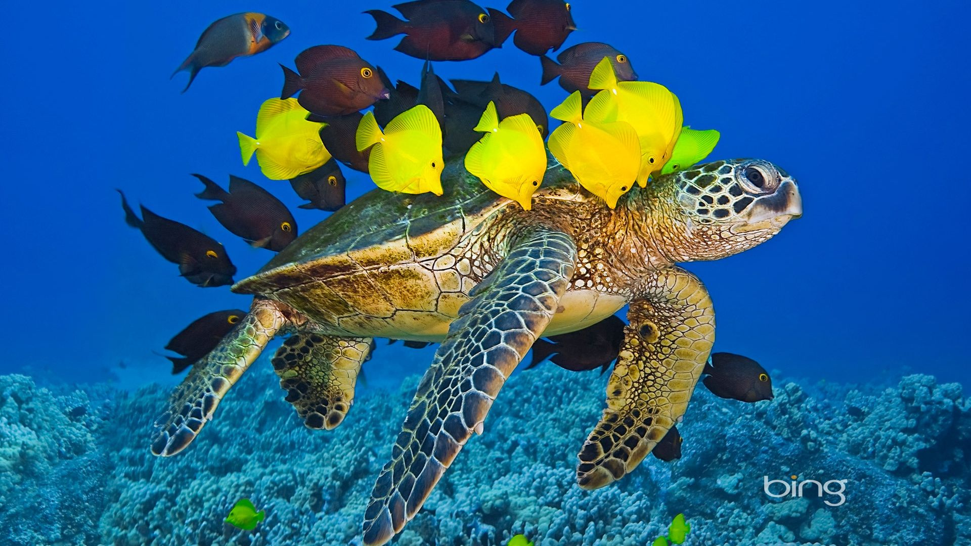1920x1080 bing turtle fish underwater sea tropical for Tropical fish images